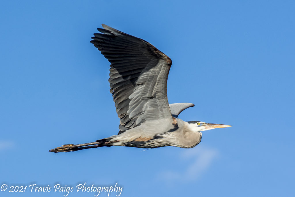 Lake Woodruff Blue Heron 1