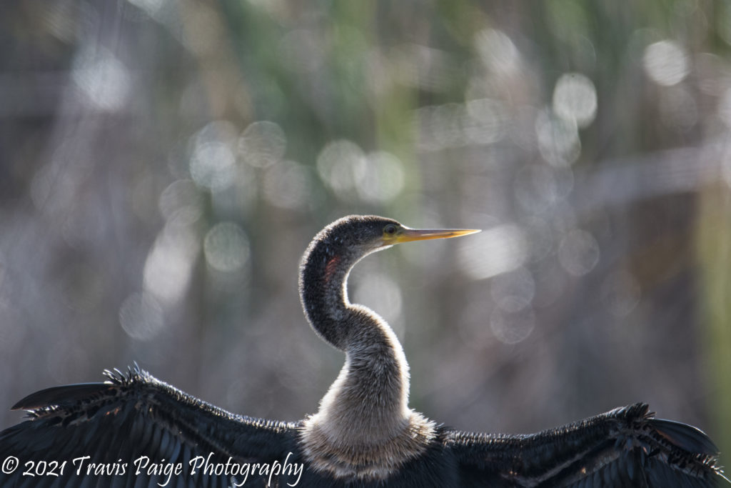 Lake Woodruff Anhinga