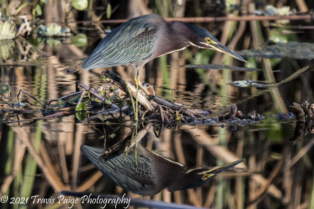 Lake Woodrudd Green Heron