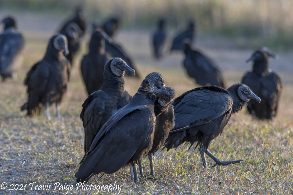 Lake Woodruff Black Vultures 2