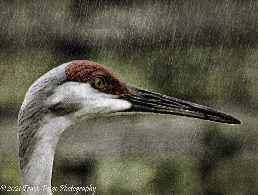 Florida Crane Rain Digital Art