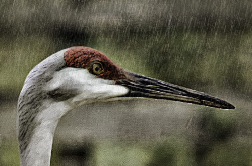 Florida Crane Rain Digital Art